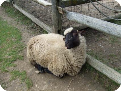 Tongue Sheep