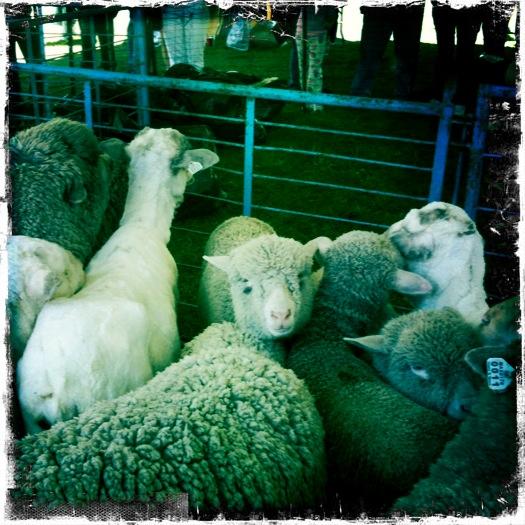 Massachusetts Sheepshearing Festival | Yurt Alert